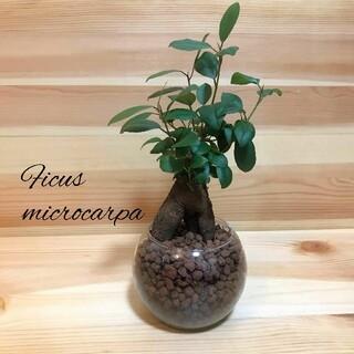 ガジュマル ハイドロカルチャー 観葉植物(プランター)
