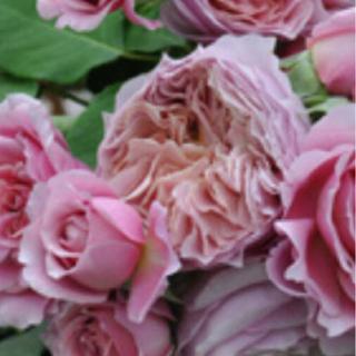 【SAL E】バラ苗 R7  花付き花持ちよい ヴィクトリアンピンク(その他)