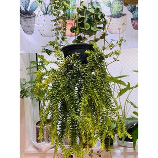 Huperzia phlegmaria &Phlegmariurus/捩れ葉大株(プランター)