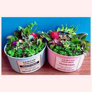 そのまま飾れます 多肉植物 寄せ植え カット苗育て方メモ ピンクとブルーセット(その他)