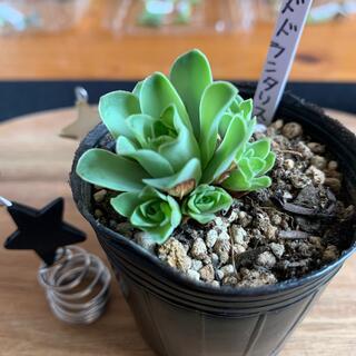 冬支度につきSALE中❣️多肉植物 ドドランタリス抜き苗❤︎(その他)