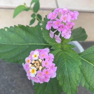 ランタナ ピンク 黄色 3苗 抜き苗(その他)