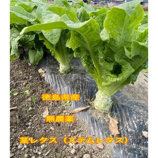 徳島県産 無農薬 茎レタス ステムレタス 5kg(箱込み)