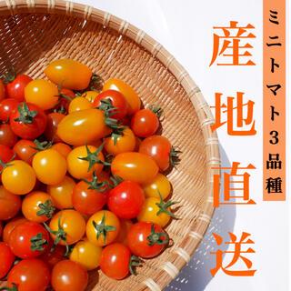 カラートマト 2kg  イエローミミ 採れたて直送☘️ トマト嫌い お子様にも!(野菜)