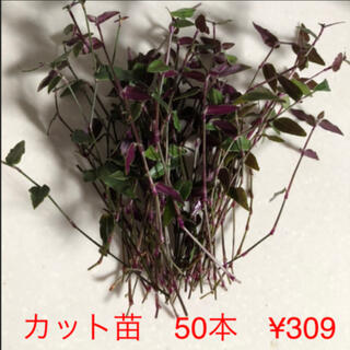 観葉植物 ブライダルベール  (その他)