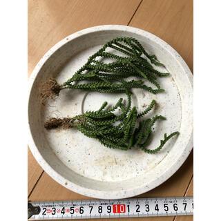 多肉植物 若緑(その他)
