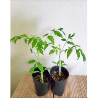 ミニトマト苗🍅🌱冬はお部屋で鑑賞しながら育てられます(その他)