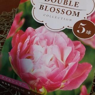 咲耶様ご検討品これからが植え時です❗️チューリップ球根 八重咲きがゴージャス‼️