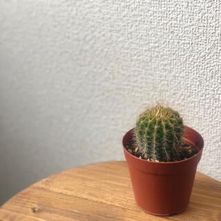 サボテン 旺盛丸 多肉植物(その他)