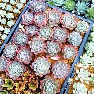 韓国苗 エケベリア クレーバー 多肉植物