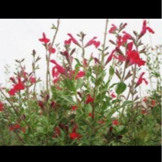 宿根草 赤いセージのタネ50粒