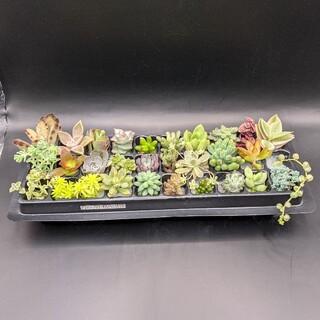 多肉植物 カット苗30種類(その他)