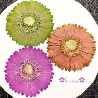 ✿押し花素材✿クラシックカラー染色ガーベラ3輪セット【直径約7cm】