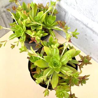 多肉植物 薄紅蓮華 2ポット抜き苗