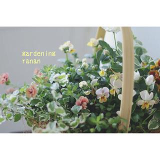 sold out❁⃘お花の贈り物❁⃘ビオラ&カリブラコアのおしゃれ寄せ植え