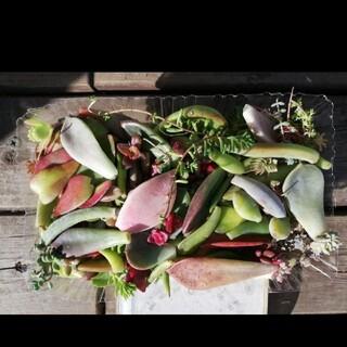 多肉植物 葉挿し ミックス 梱包込み 100gぐらい 1188円(その他)