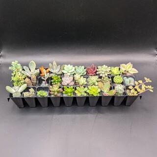 多肉植物 カット苗30種類