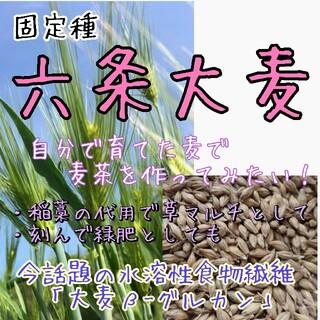 六条大麦 『春雷』 固定種 家庭菜園 麦茶 野菜の種 種子 種(野菜)