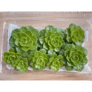 2 多肉植物 レディジア カット苗