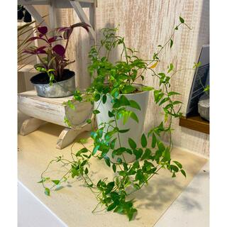 観葉植物 スマイラックス 苗(プランター)