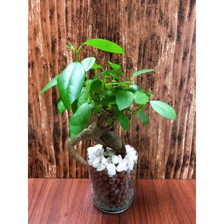 ガジュマル 中 観葉植物 ハイドロカルチャー(プランター)