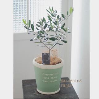 おしゃれ❁オリーブの木❁可愛いsizeのルッカ