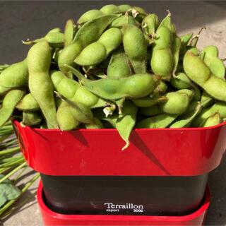 ふっくらとふくらんで食べ応えがある 丹波黒豆の枝豆800グラム期間限定!