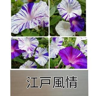 ♥️花の種 朝顔の種 江戸風情(その他)