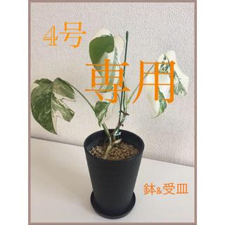 モンステラ ボルシギアナ ホワイトタイガー 4号鉢    鉢&受皿付き(その他)