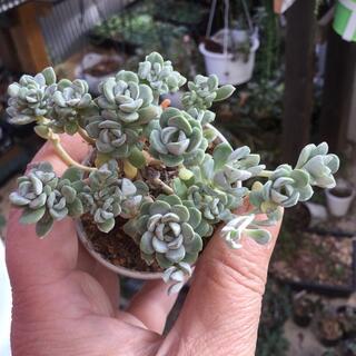 多肉植物 白雪ミセバヤ 6センチポット抜き苗(その他)