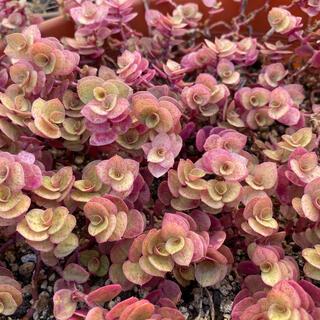 多肉植物✨桜色カリシア✨15カット+5カット(その他)
