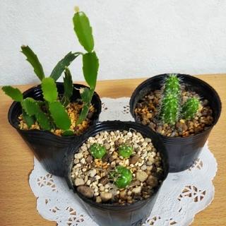 小さなサボテン3種  品種不明サボテン  ギムノカリキウム  シャコバサボテン (その他)