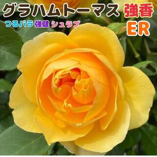 グラハムトーマス 黄色 イエロー 強健 薔薇 四季咲き バラ苗(その他)