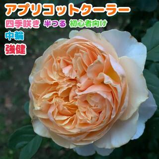 アプリコットクーラー 黄色★イエロー★橙★オレンジ★強健★四季咲き 半つる★薔薇(その他)