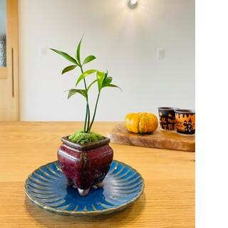 ナギの木のミニ盆栽(その他)