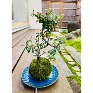 カマツカコケモモの苔玉 盆栽(その他)