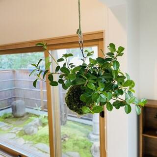 つる性ガジュマルの苔玉 ハンギング 観葉植物(その他)