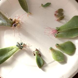 多肉植物 葉挿し7種と抜き苗 おまけあり(その他)