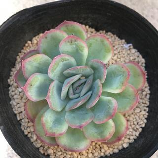 多肉植物9  エケベリア ストロベリーアイス 韓国苗