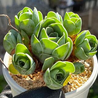 多肉植物 グリーノビア D