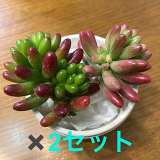 多肉植物 オーロラ 虹の玉 カット苗 紅葉 ぷりぷり