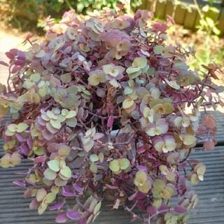 多肉植物 桜色カリシアカット苗 50カット