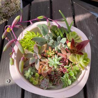 多肉植物 17種類 20カット以上 ちまちま寄せ植えセット