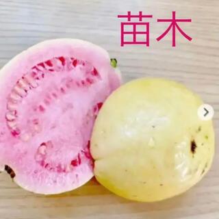 ピンクグァバ赤ちゃん苗4cmポット入り2株セット(その他)