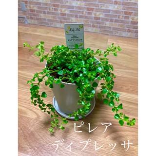 観葉植物 ピレアディプレッサ 苗