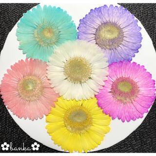 ✿押し花素材✿淡い彩りガーベラ6輪セット【直径約6.5cm〜7cm】