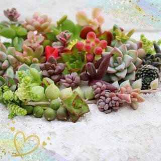 多肉植物(40)ちまちま寄せ植えにぴったり カラフルなカット苗&抜き苗セット