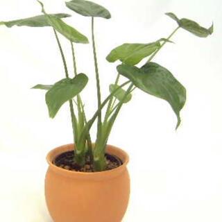 ꕥスタイリッシュな外観ハート型葉っぱが可愛い魅力的な大きなクワズイモ一苗✧(プランター)