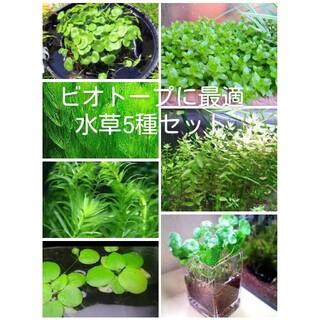 ビオトープ 水草5種セット(アクアリウム)