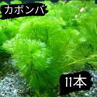 【好評につき限定販売終了】カボンバ5本(アクアリウム)